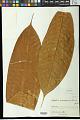 View Schefflera vasqueziana Harms digital asset number 0