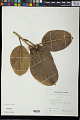 View Ficus benghalensis L. digital asset number 0