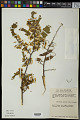 View Dalbergia glabra (Mill.) Standl. digital asset number 0