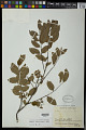 View Dalbergia melanocardium Pittier digital asset number 0