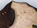 View Parmelia lobulascens J. Steiner digital asset number 3