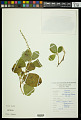 View Croton alnifolius Lam. digital asset number 1