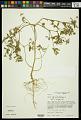 View Croton glandulosus L. digital asset number 1