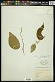 View Croton xalapensis Kunth digital asset number 1