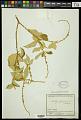 View Croton ferrugineus Kunth digital asset number 1