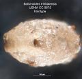 View Bolivinoides trinitatensis Cushman & Jarvis, 1928 digital asset number 1
