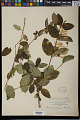View Lonicera japonica Thunb. digital asset number 0