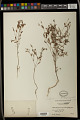 View Crotonopsis elliptica Willd. digital asset number 1