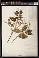 View Croton aromaticus L. digital asset number 1