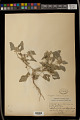 View Chrozophora tinctoria (L.) A. Juss. digital asset number 1
