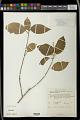 View Mallotus eriocarpus (Thwaites) Müll. Arg. digital asset number 1