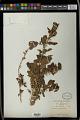 View Erythrococca rigidifolia Pax digital asset number 1