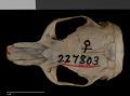 View Thomomys bottae subsimilis digital asset number 6
