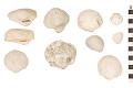 View Bivalve, Bivalve shell, Ark Clam, Equal-ribbed Ark digital asset number 0