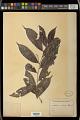 View Antidesma microphyllum Hemsl. digital asset number 1