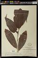 View Antidesma stipulare Blume digital asset number 1