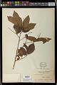 View Antidesma montanum Blume digital asset number 1