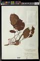 View Bischofia javanica Blume digital asset number 1