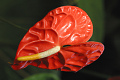 View Anthurium x andreanum André digital asset number 2