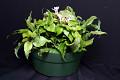 View Cryptanthus acaulis (Lindl.) Beer digital asset number 0