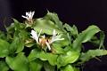 View Cryptanthus acaulis (Lindl.) Beer digital asset number 1