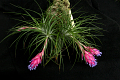 View Tillandsia stricta Sol. ex Ker Gawl. digital asset number 0