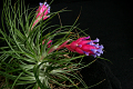 View Tillandsia stricta Sol. ex Ker Gawl. digital asset number 1