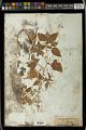 View Acalypha ostryifolia Ridd. digital asset number 1