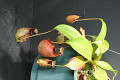View Nepenthes bicalcarata Hook. f. digital asset number 1