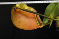 View Nepenthes bicalcarata Hook. f. digital asset number 3