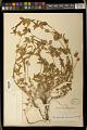 View Acalypha phleoides Cav. digital asset number 1