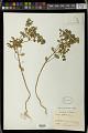 View Euphorbia peplus L. digital asset number 1