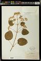 View Euphorbia cotinifolia L. digital asset number 1