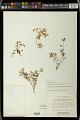 View Euphorbia macropodoides B.L. Rob. & Greenm. digital asset number 1