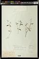 View Euphorbia macropus (Klotzsch & Garcke) Boiss. digital asset number 1