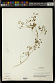 View Euphorbia ocymoidea L. digital asset number 1