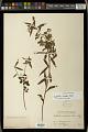 View Euphorbia orizabae Boiss. digital asset number 1