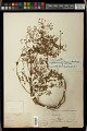 View Euphorbia perlignea McVaugh digital asset number 1