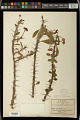 View Euphorbia milii var. splendens (Bojer ex Hook.) Ursch & Leandri digital asset number 1