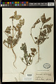 View Euphorbia dentata Michx. digital asset number 1