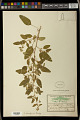 View Euphorbia zierioides Boiss. digital asset number 1