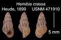 View Oncomelania hupensis hupensis digital asset number 0