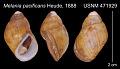 View Paludomus (Philopotamis) pacificans digital asset number 0