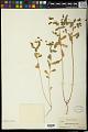 View Euphorbia spathulata Lam. digital asset number 1