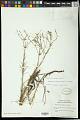 View Euphorbia polyphylla Engelm. ex Holz. digital asset number 1