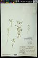 View Euphorbia bilobata Engelm. in Emory digital asset number 1