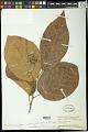 View Sapium japonicum digital asset number 1