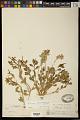 View Stillingia treculiana (Müll. Arg.) I.M. Johnst. digital asset number 1