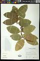 View Phaleria disperma (G. Forst.) Baill. digital asset number 0