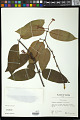 View Phaleria acuminata (A. Gray) Gilg digital asset number 0